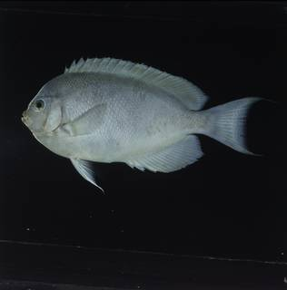 To NMNH Extant Collection (Genicanthus spinus FIN032070B Slide 120 mm)