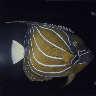 To NMNH Extant Collection (Pomacanthus annularis FIN032079 Slide 120 mm)