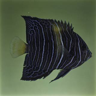 To NMNH Extant Collection (Pomacanthus asfur FIN032081 Slide 120 mm)