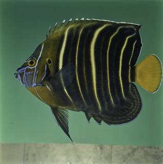 To NMNH Extant Collection (Pomacanthus chrysurus FIN032083 Slide 120 mm)
