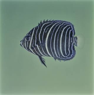 To NMNH Extant Collection (Pomacanthus maculosus FIN032090 Slide 120 mm)
