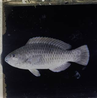 To NMNH Extant Collection (Scarus arabicus FIN033017 Slide 120 mm)