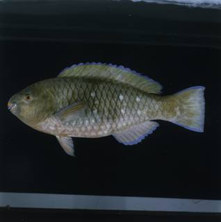To NMNH Extant Collection (Scarus persicus FIN033126 Slide 120 mm)