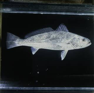 To NMNH Extant Collection (Otolithes ruber FIN033218 Slide 120 mm)