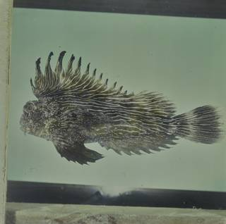 To NMNH Extant Collection (Choridactylus striatus FIN033283 Slide 120 mm)