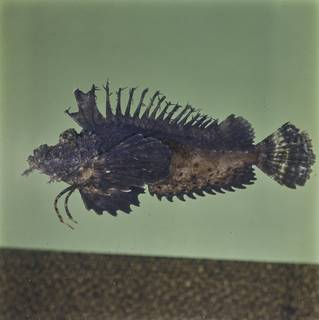 To NMNH Extant Collection (Inimicus sinensis FIN033302 Slide 120 mm)