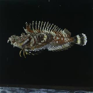 To NMNH Extant Collection (Inimicus didactylus FIN033304 Slide 120 mm)