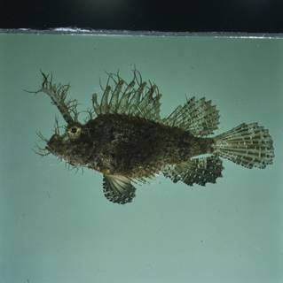 To NMNH Extant Collection (Pteroidichthys amboinensis FIN033363 Slide 120 mm)