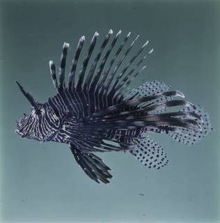 To NMNH Extant Collection (Pterois miles FIN033367 Slide 120 mm)
