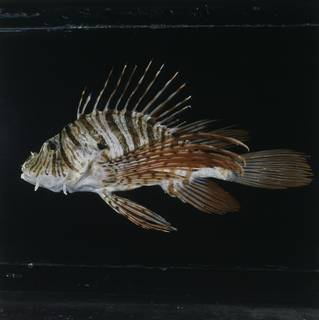 To NMNH Extant Collection (Pterois russelii FIN033371 Slide 120 mm)