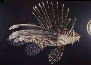 To NMNH Extant Collection (Pterois volitans FIN033374 Slide 120 mm)