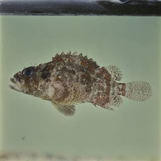 To NMNH Extant Collection (Scorpaenodes guamensis FIN033405 Slide 120 mm)