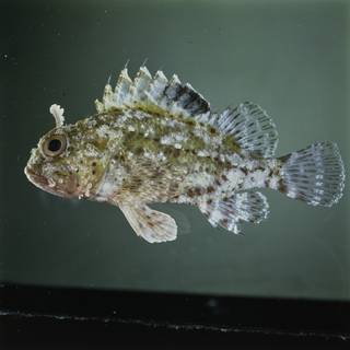 To NMNH Extant Collection (Sebastapistes ballieui FIN033544B Slide 120 mm)