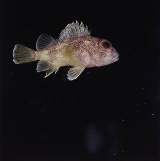 To NMNH Extant Collection (Sebastapistes cyanostigma FIN033548 Slide 120 mm)
