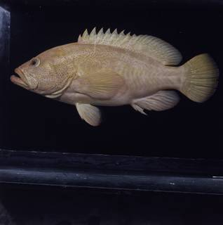 To NMNH Extant Collection (Cephalopholis aurantia FIN033653 Slide 120 mm)