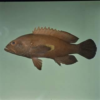 To NMNH Extant Collection (Cephalopholis hemistiktos FIN033670 Slide 120 mm)
