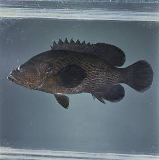 To NMNH Extant Collection (Cephalopholis microprion FIN033678 Slide 120 mm)