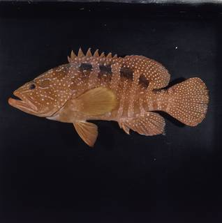 To NMNH Extant Collection (Cephalopholis sexmaculata FIN033695 Slide 120 mm)
