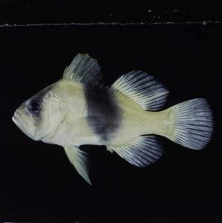 To NMNH Extant Collection (Diploprion bifasciatum FIN033724 Slide 120 mm)
