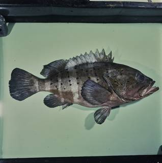 To NMNH Extant Collection (Epinephelus amblycephalus FIN033741 Slide 120 mm)