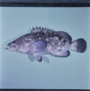 To NMNH Extant Collection (Epinephelus coeruleopunctatus FIN033761 Slide 120 mm)