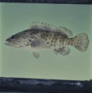 To NMNH Extant Collection (Epinephelus coioides FIN033768 Slide 120 mm)