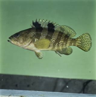 To NMNH Extant Collection (Epinephelus fasciatomaculosus FIN033792 Slide 120 mm)