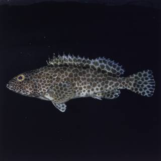 To NMNH Extant Collection (Epinephelus faveatus FIN033799 Slide 120 mm)