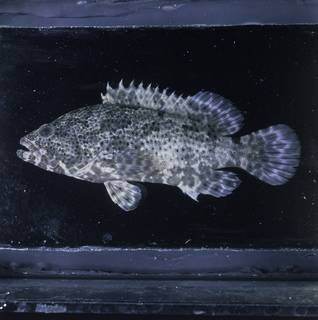 To NMNH Extant Collection (Epinephelus fuscoguttatus FIN033801 Slide 120 mm)