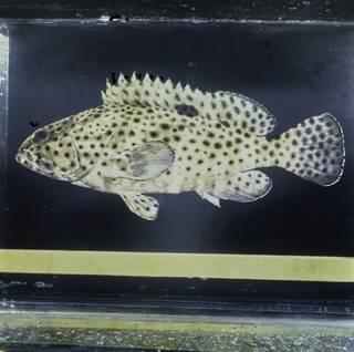 To NMNH Extant Collection (Epinephelus howlandi FIN033809 Slide 120 mm)