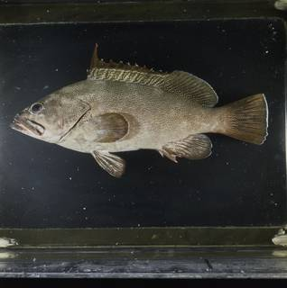 To NMNH Extant Collection (Epinephelus irroratus FIN033811 Slide 120 mm)