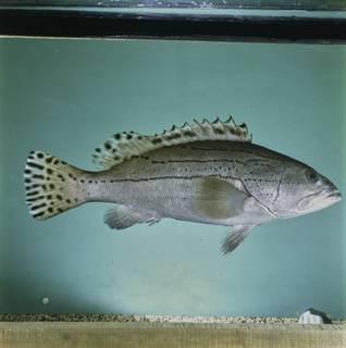 To NMNH Extant Collection (Epinephelus latifasciatus FIN033815 Slide 120 mm)