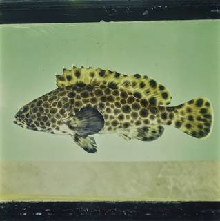 To NMNH Extant Collection (Epinephelus macrospilos FIN033823 Slide 120 mm)