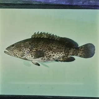 To NMNH Extant Collection (Epinephelus malabaricus FIN033832 Slide 120 mm)