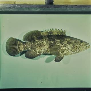 To NMNH Extant Collection (Epinephelus malabaricus FIN033833 Slide 120 mm)