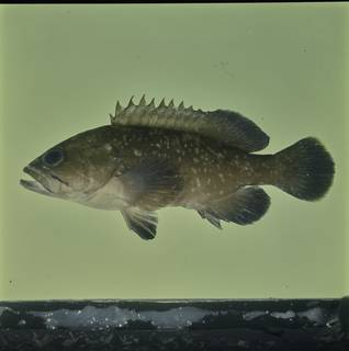 To NMNH Extant Collection (Epinephelus marginatus FIN033838 Slide 120 mm)