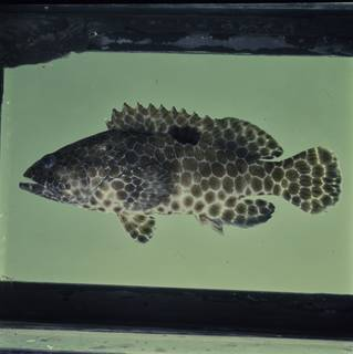 To NMNH Extant Collection (Epinephelus melanostigma FIN033843 Slide 120 mm)