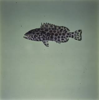 To NMNH Extant Collection (Epinephelus merra FIN033844 Slide 120 mm)