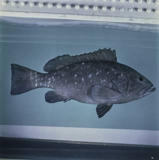 To NMNH Extant Collection (Epinephelus multinotatus FIN033851 Slide 120 mm)