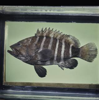 To NMNH Extant Collection (Hyporthodus octofasciatus FIN033853 Slide 120 mm)