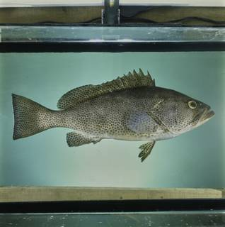 To NMNH Extant Collection (Epinephelus polylepis FIN033861 Slide 120 mm)