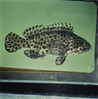To NMNH Extant Collection (Epinephelus quoyanus FIN033867 Slide 120 mm)