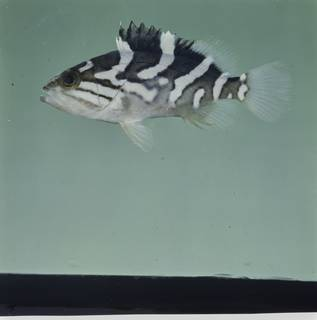 To NMNH Extant Collection (Epinephelus radiatus FIN033875 Slide 120 mm)