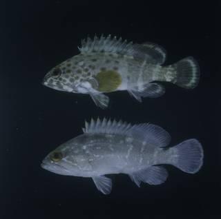 To NMNH Extant Collection (Epinephelus stoliczkae and Epinephelus marginatus FIN033892 Slide 120 mm)