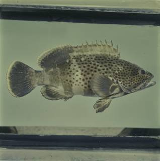 To NMNH Extant Collection (Epinephelus stoliczkae FIN033893 Slide 120 mm)