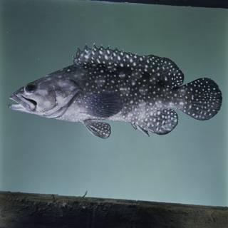 To NMNH Extant Collection (Epinephelus summana FIN033896 Slide 120 mm)