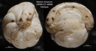 To NMNH Paleobiology Collection (Nonion chiranum USNM CC 48896 holotype)