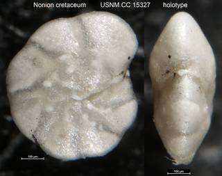 To NMNH Paleobiology Collection (Nonion cretaceum USNM CC 15327 holotype)