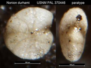 To NMNH Paleobiology Collection (Nonion durhami USNM PAL 370446 paratype)