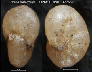 To NMNH Paleobiology Collection (Nonion ecuadoranum USNM CC 63701 holotype)